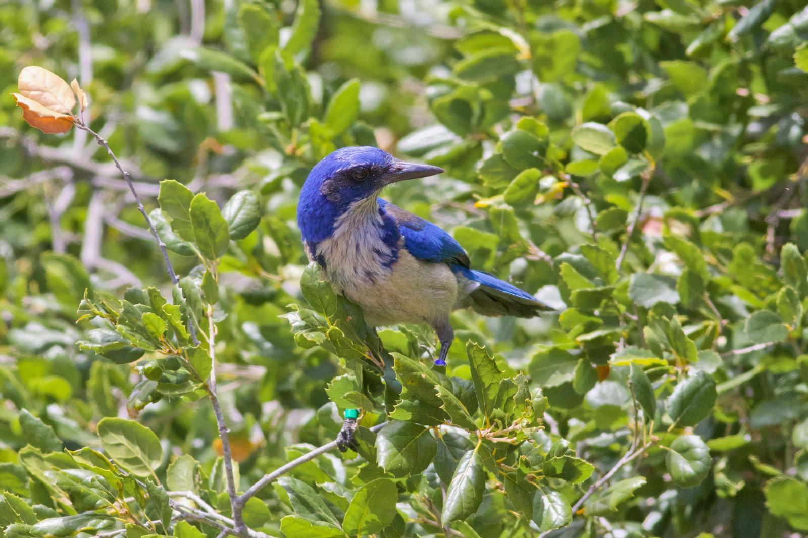 Island Scrub-Jay Photo by Tom Ford-Hutchinson