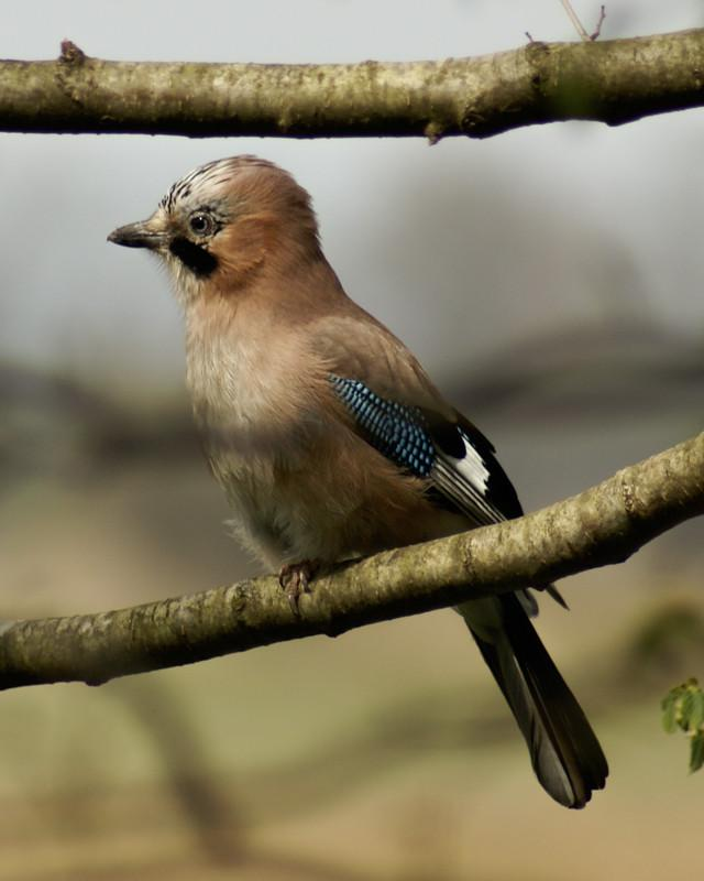 Eurasian Jay Photo by Natalie Raeber