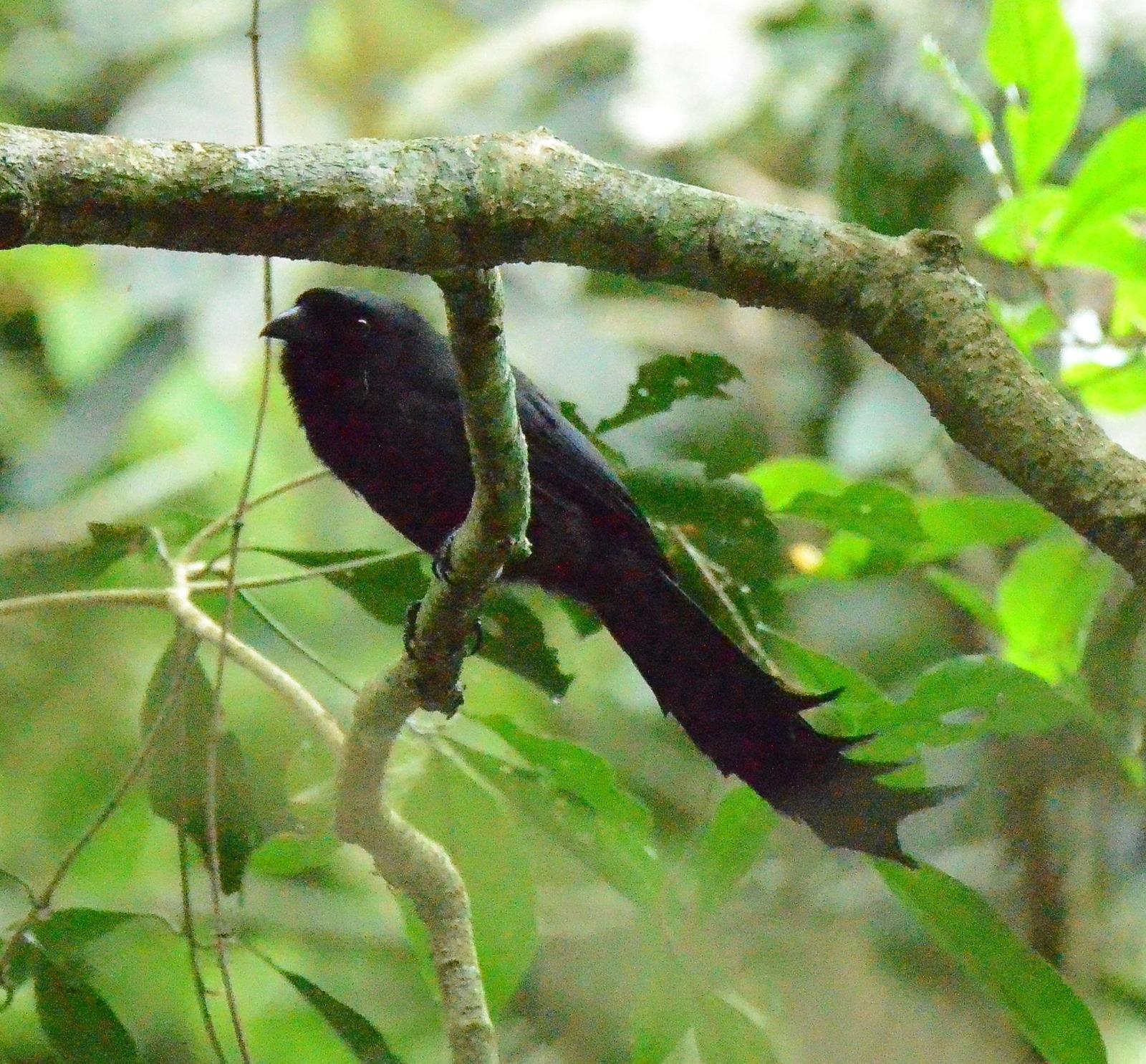 Ratchet-tailed Treepie Photo by Uthai Cheummarung