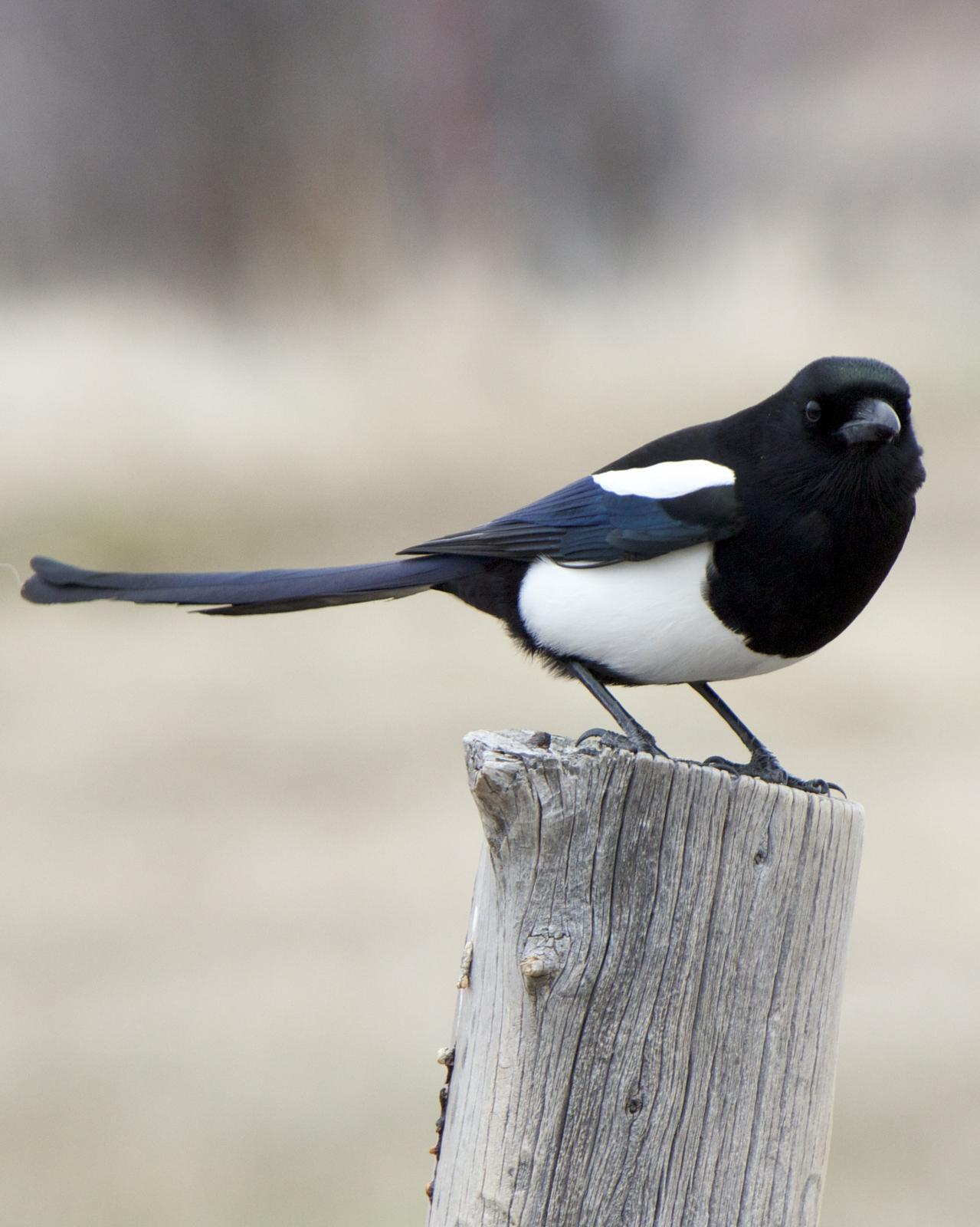 Black-billed Magpie Photo by Mark Baldwin