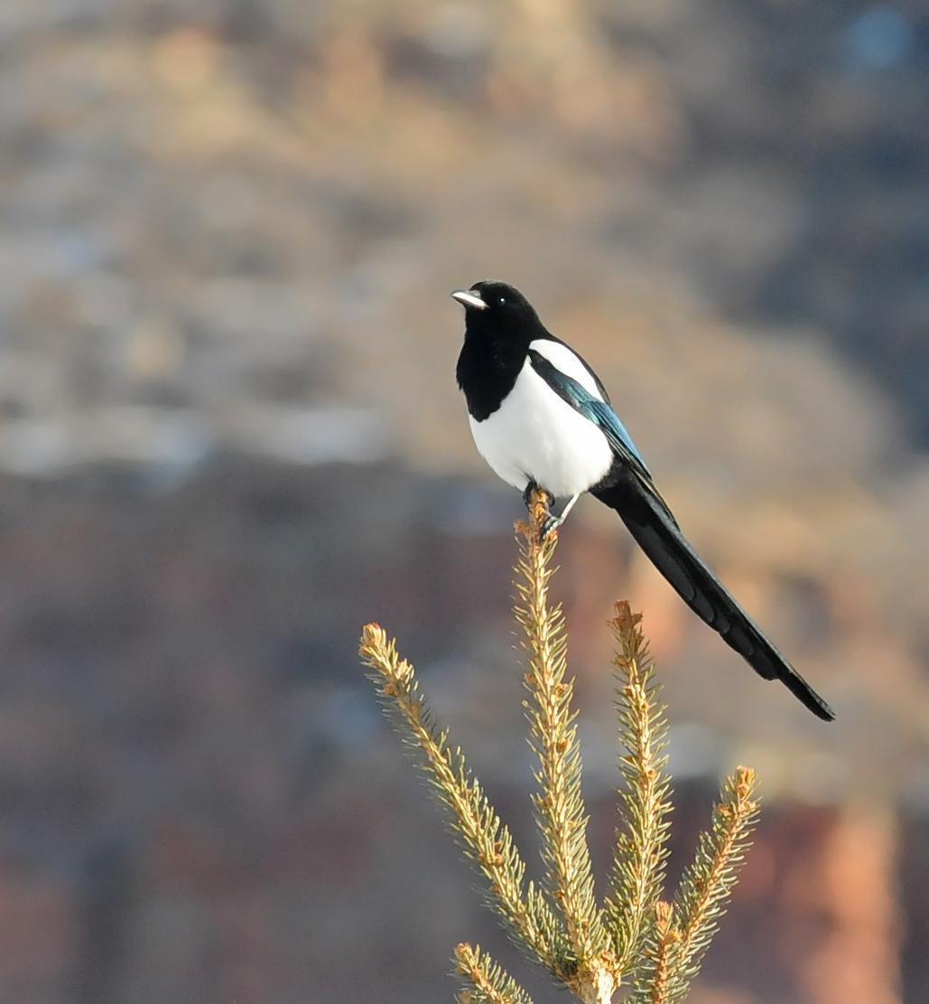 Black-billed Magpie Photo by Steven Mlodinow