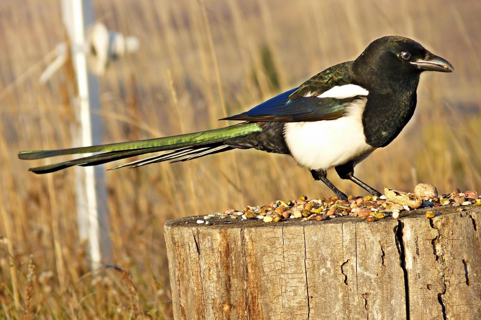 Black-billed Magpie Photo by Bob Neugebauer