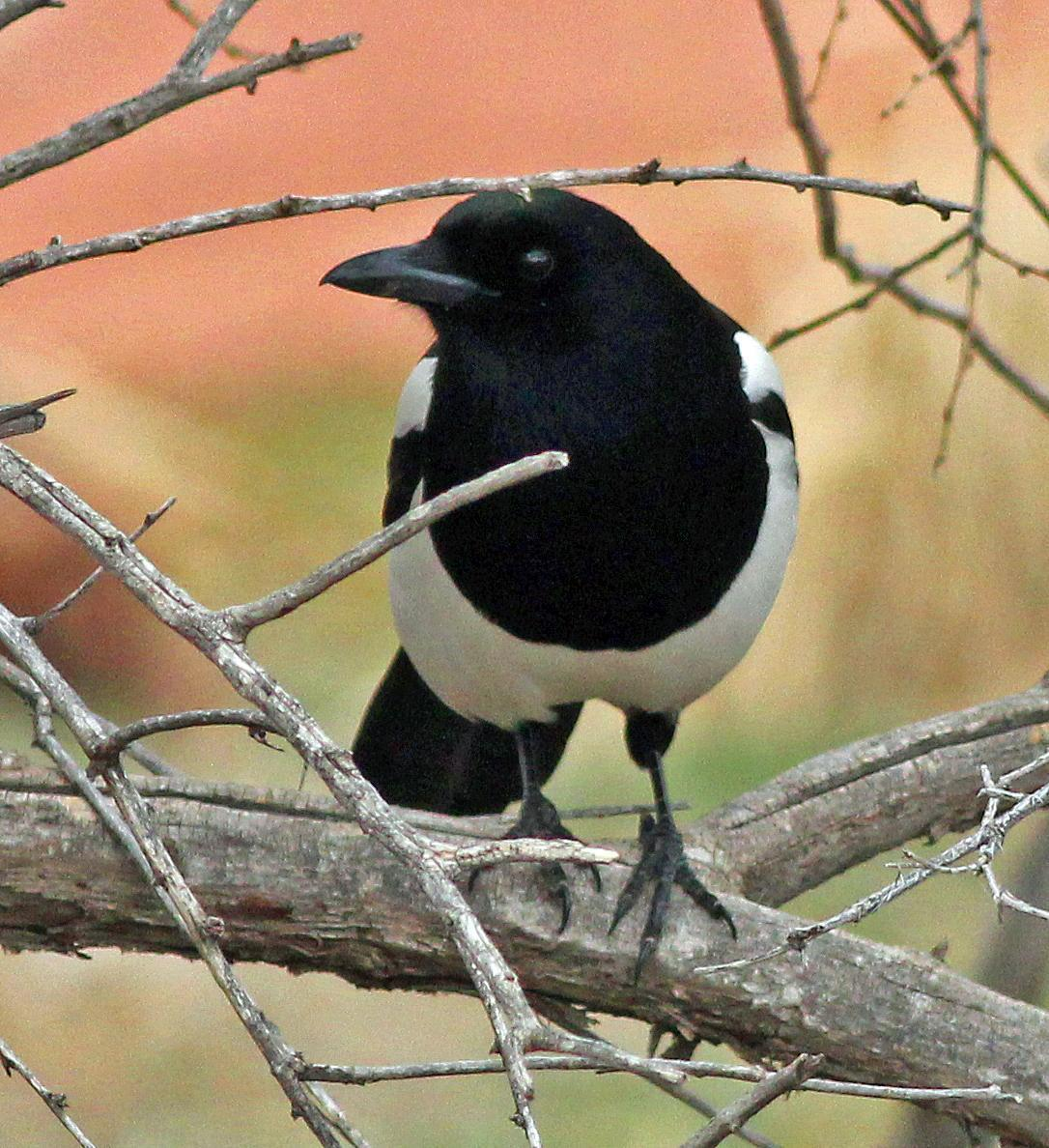 Black-billed Magpie Photo by Tom Gannon