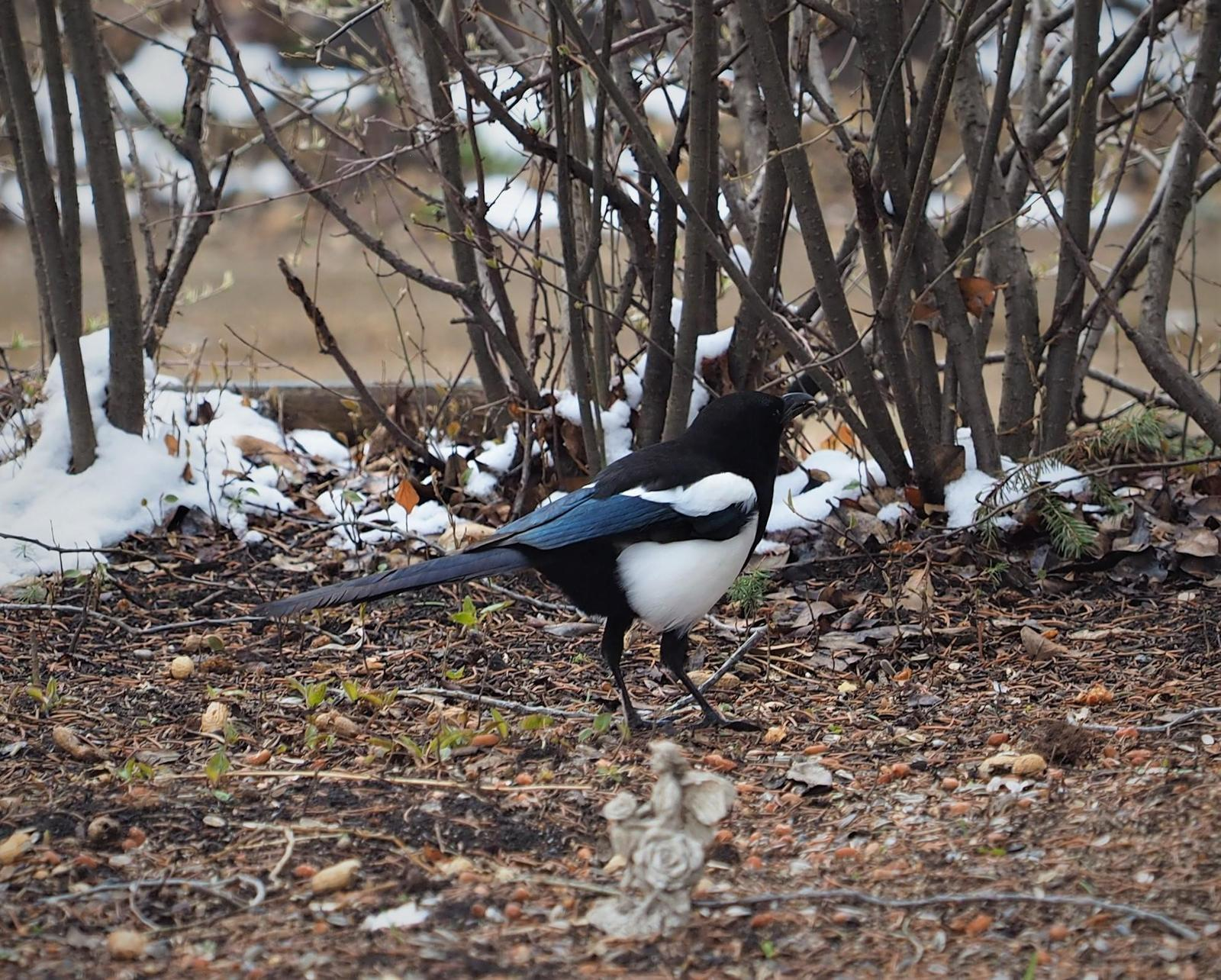 Black-billed Magpie Photo by Colin Hill
