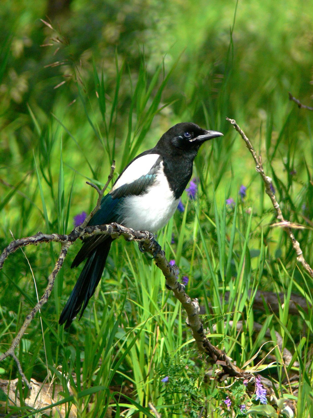 Black-billed Magpie Photo by Tom Ford-Hutchinson