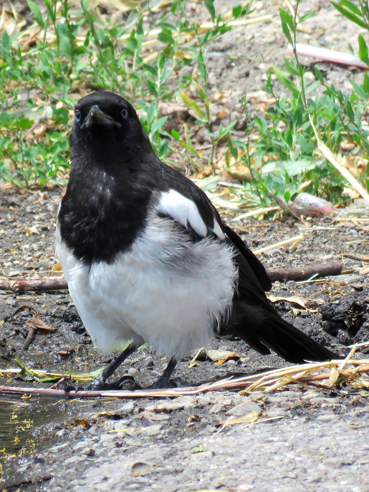 Black-billed Magpie Photo by Kent Jensen