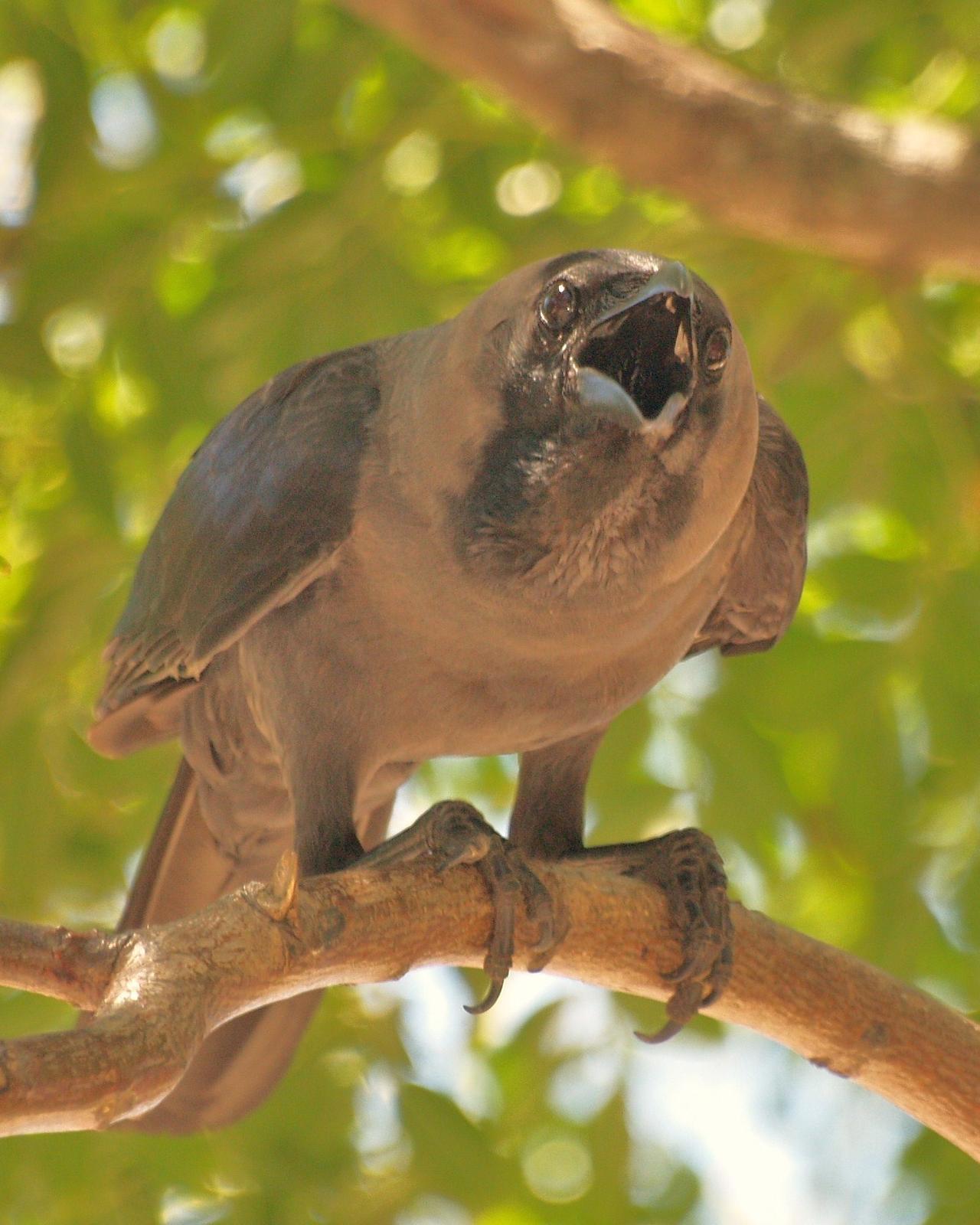 House Crow Photo by Alex Lamoreaux