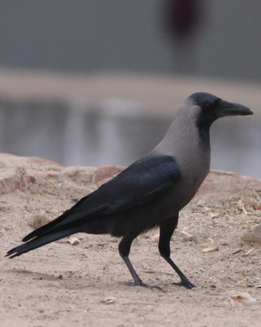House Crow Photo by Nate Swick