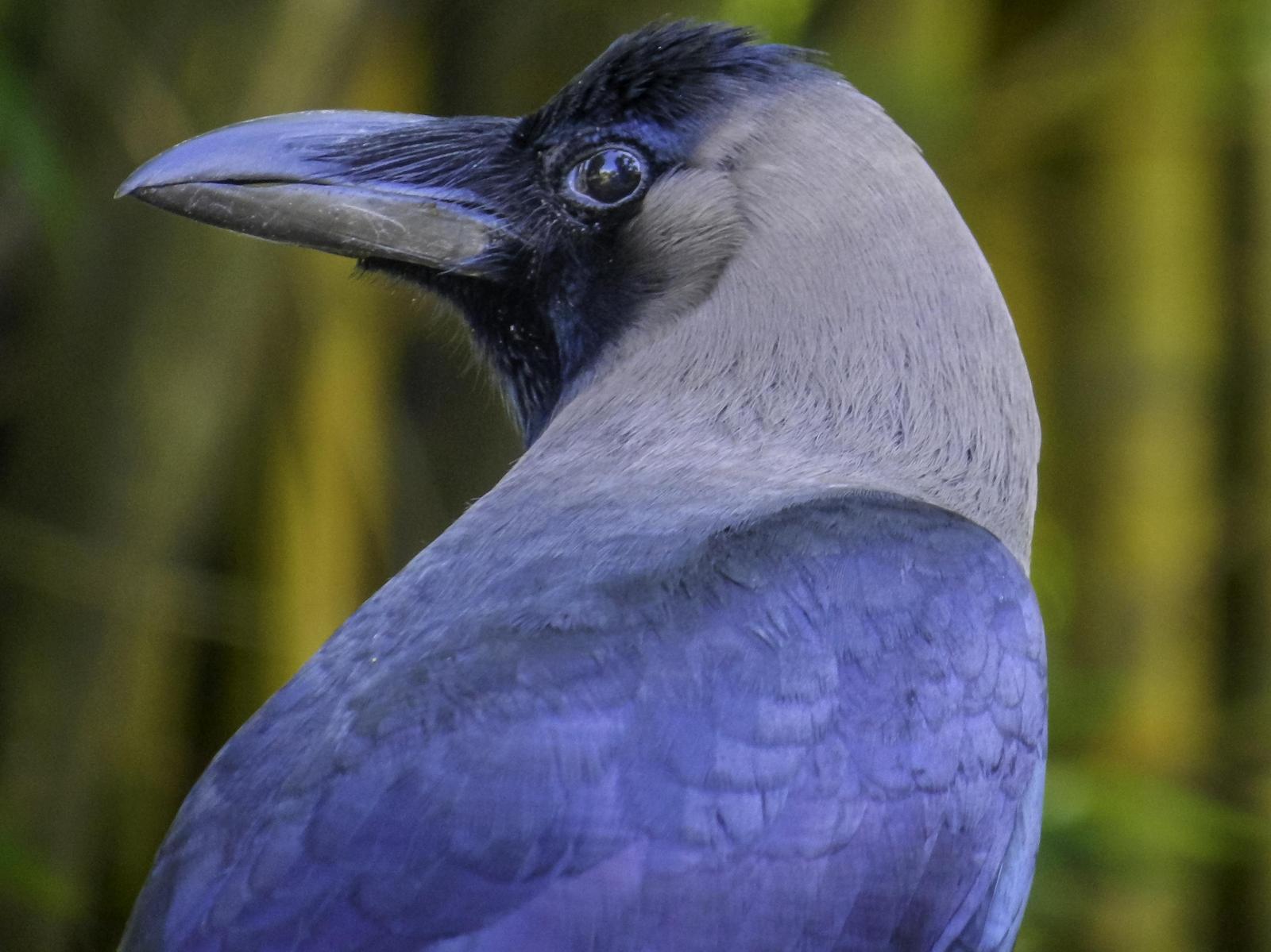 House Crow Photo by Mason Rose