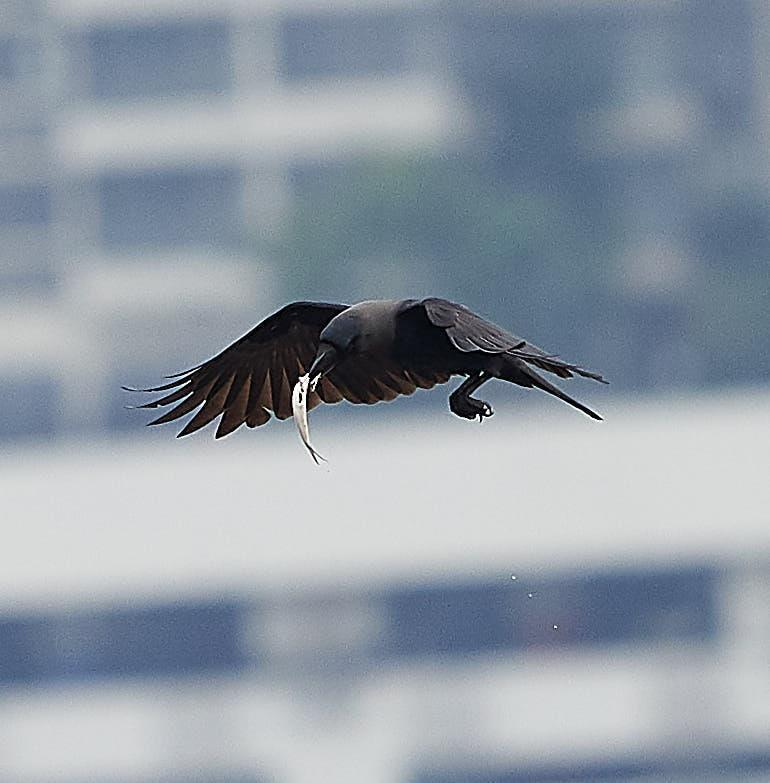 House Crow Photo by Steven Cheong