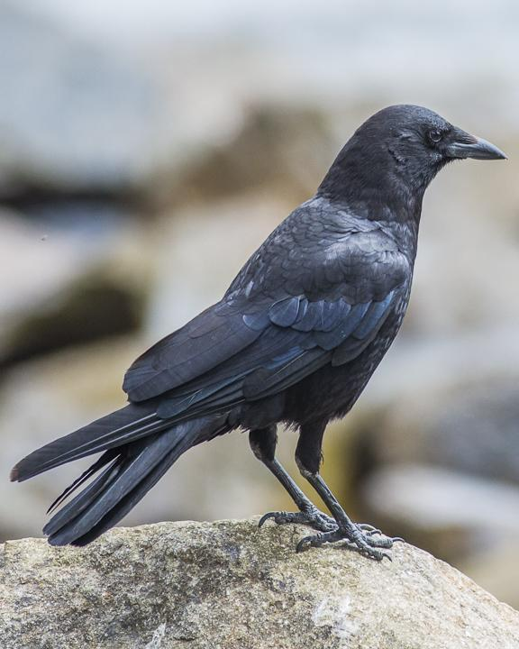 American Crow Photo by Anthony Gliozzo