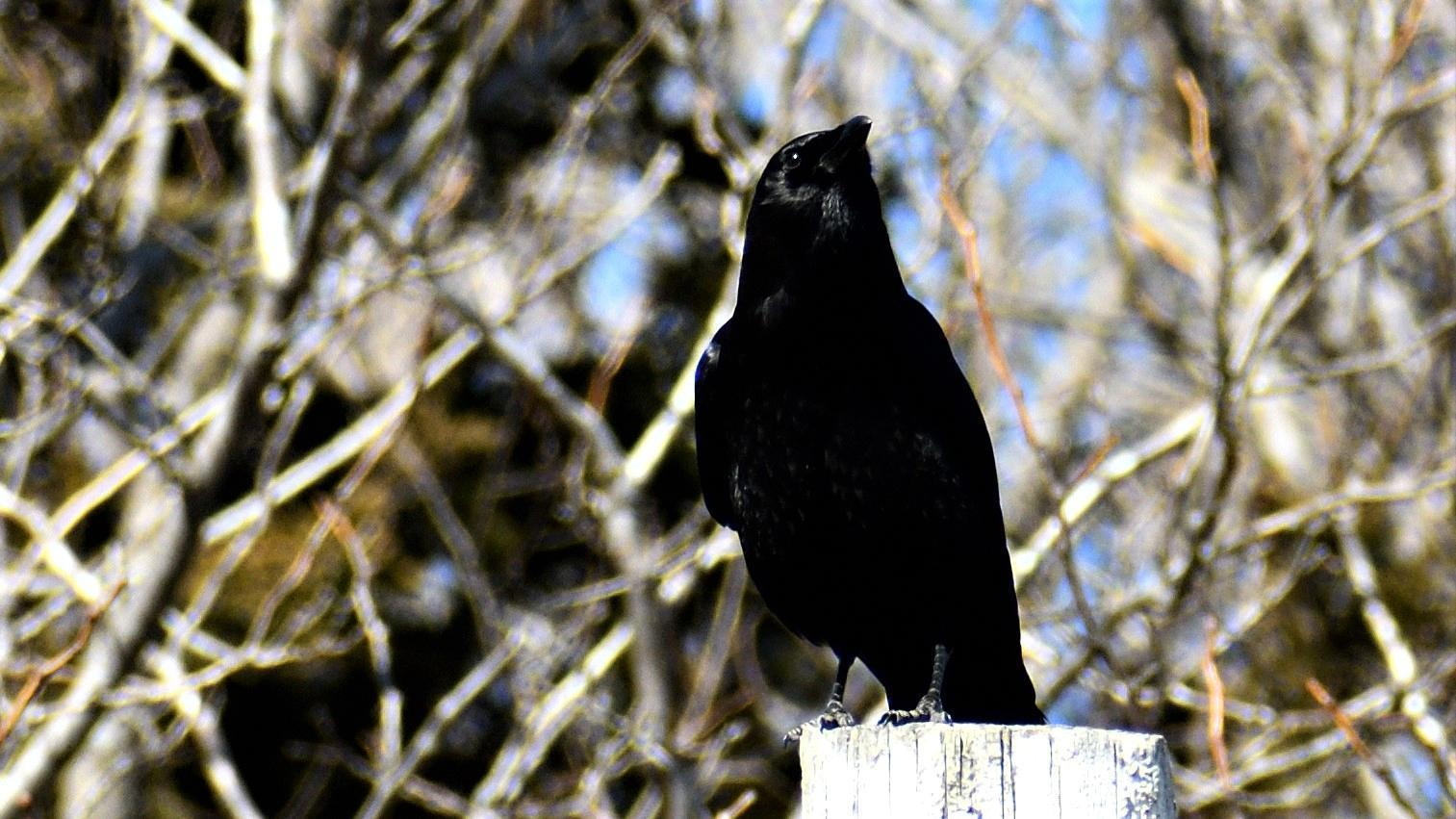 American Crow Photo by RM Beck