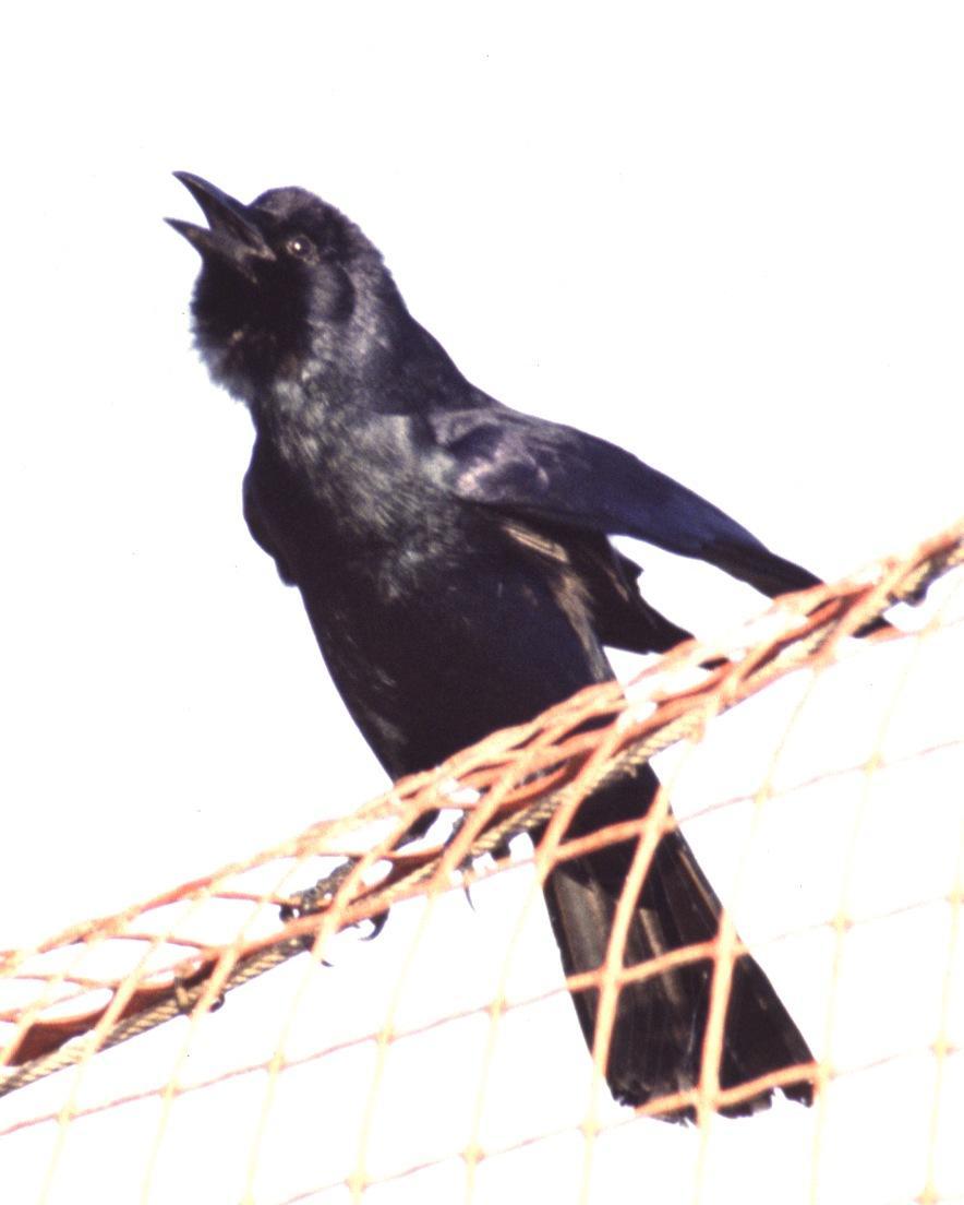 Tamaulipas Crow Photo by Monte Taylor