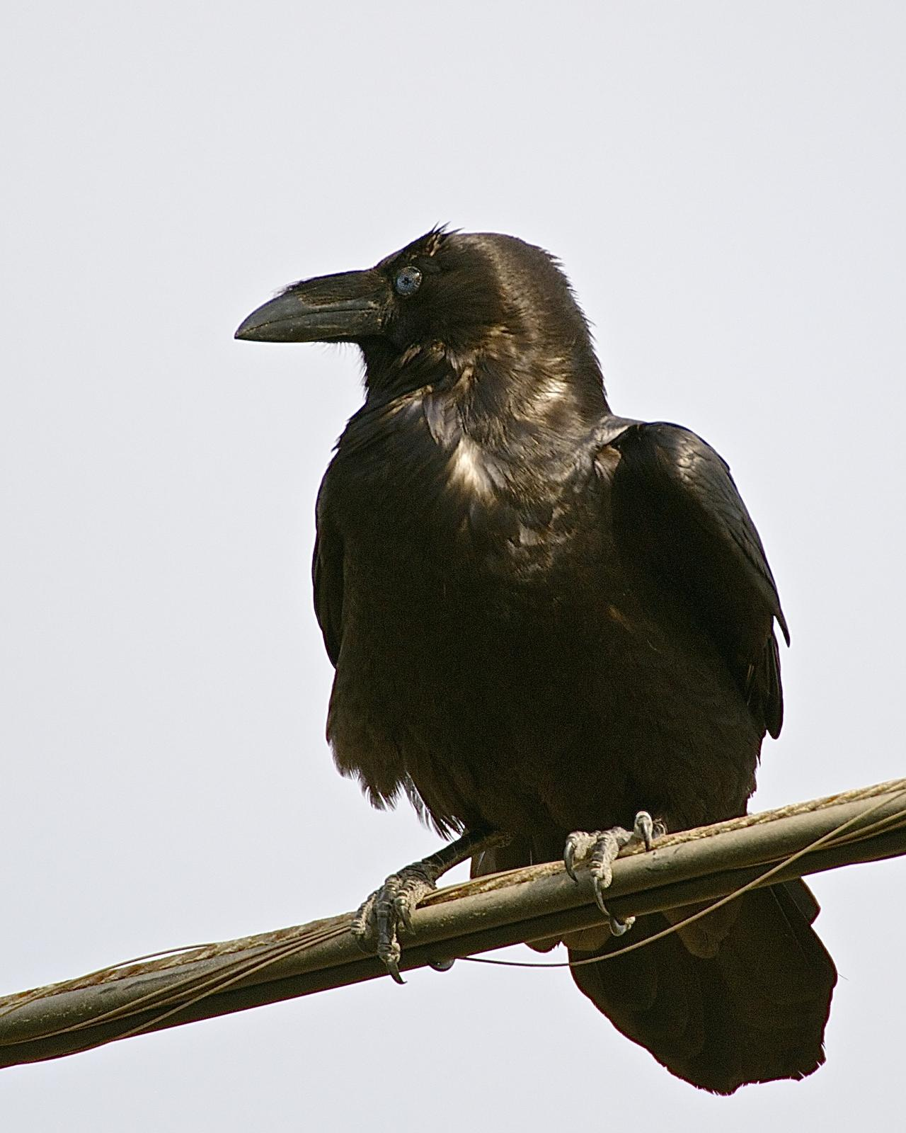 Chihuahuan Raven Photo by Gerald Friesen