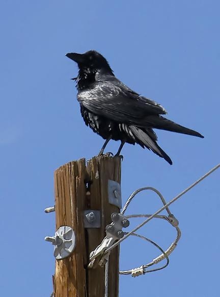 Chihuahuan Raven Photo by Dan Tallman