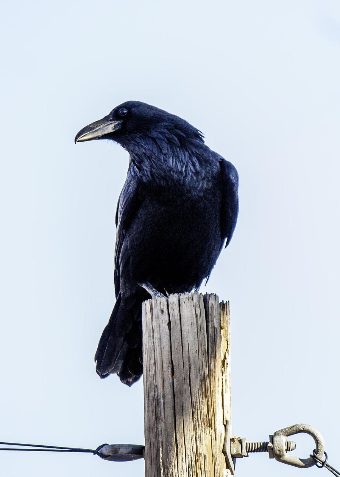 Chihuahuan Raven Photo by Mason Rose