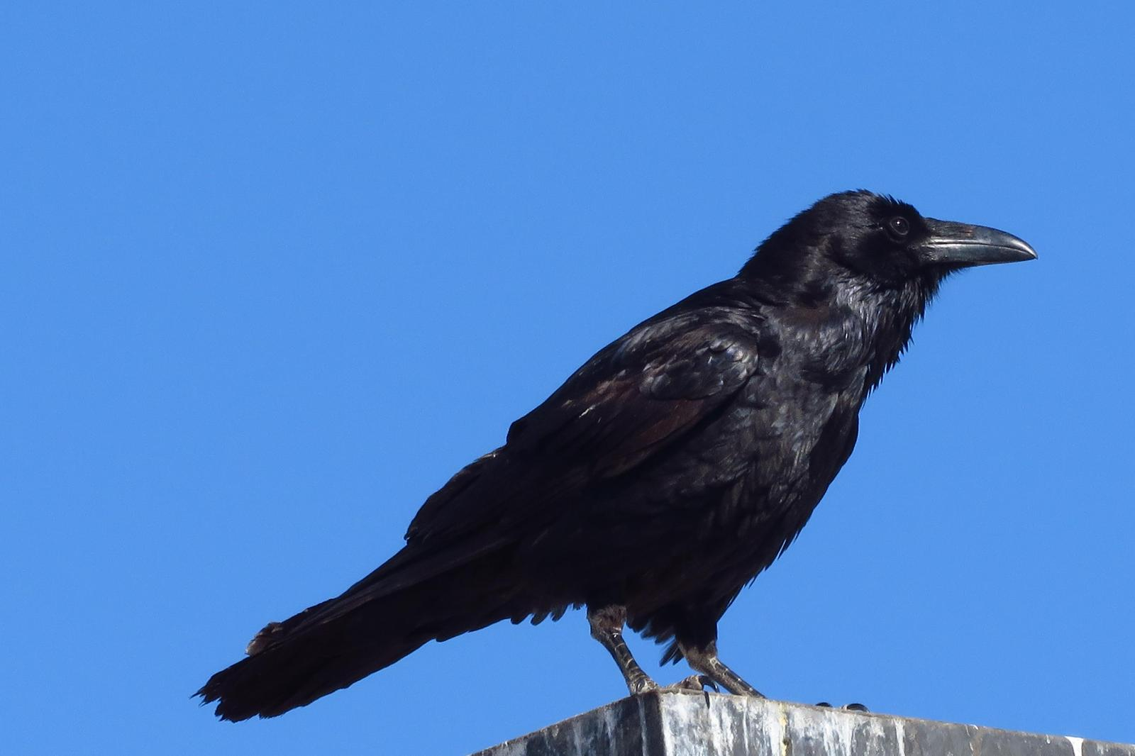 Chihuahuan Raven Photo by Bob Neugebauer