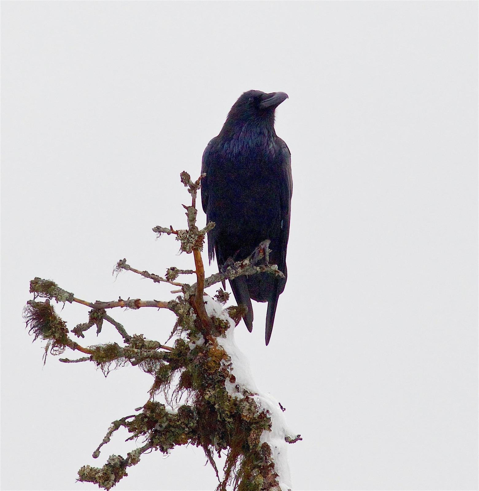 Common Raven Photo by Kathryn Keith