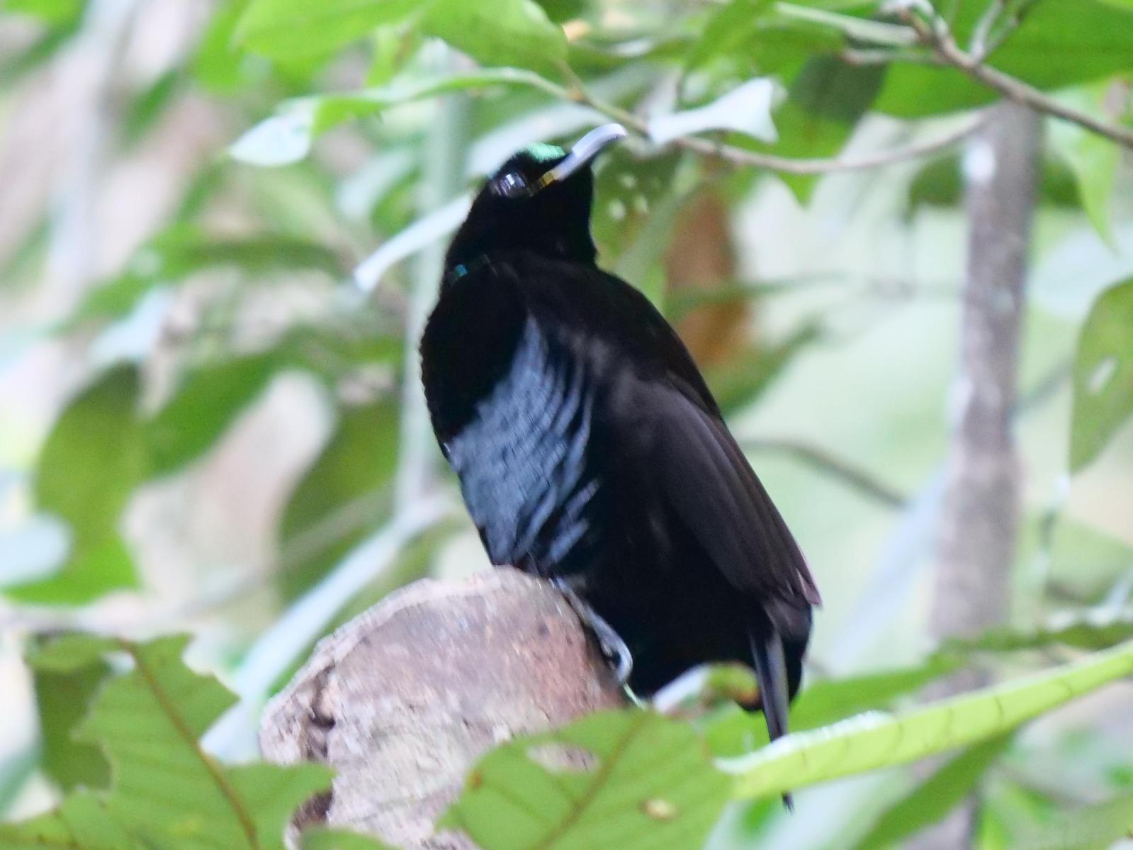 Victoria's Riflebird Photo by Peter Lowe