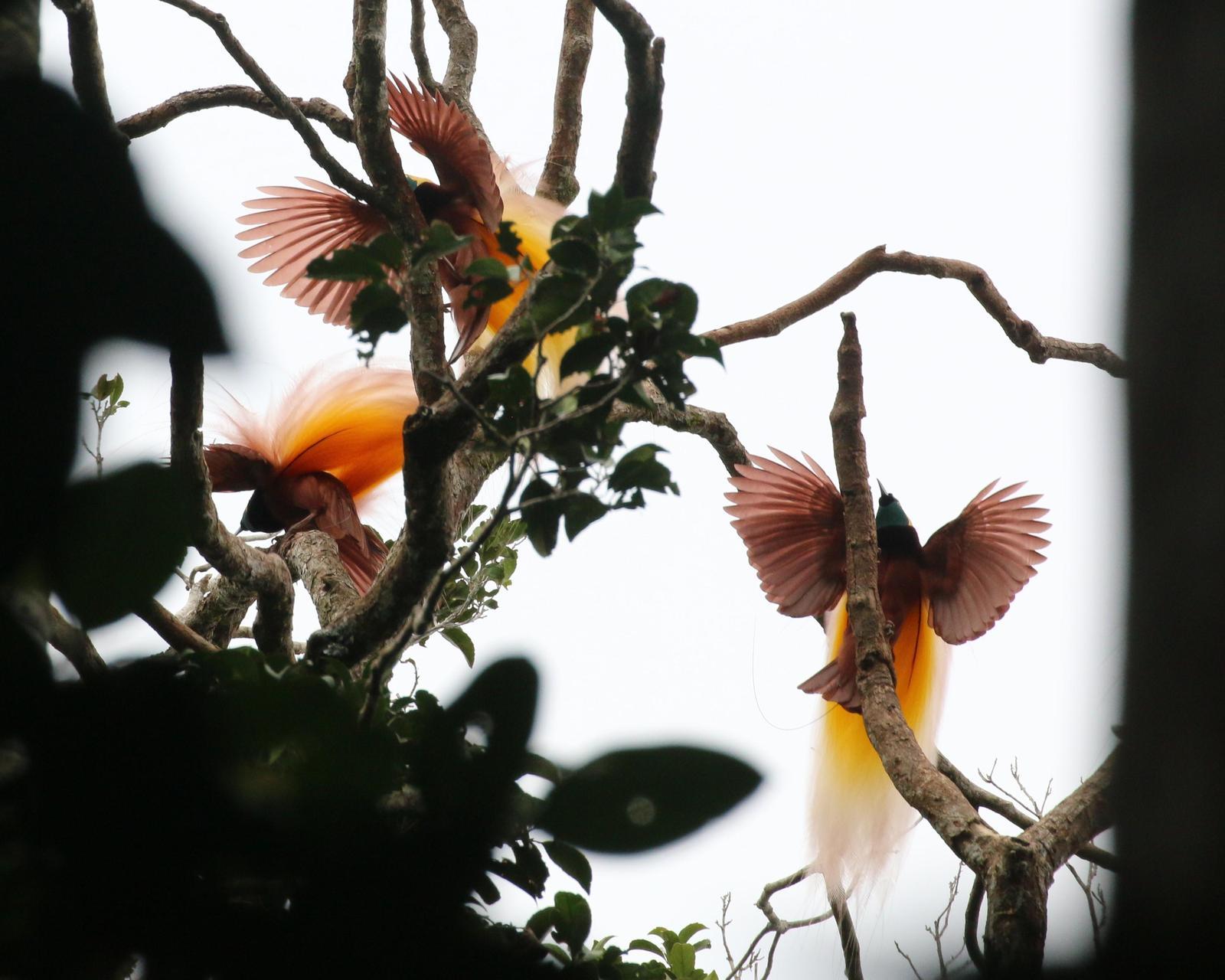 Greater Bird-of-Paradise Photo by Richard Jeffers