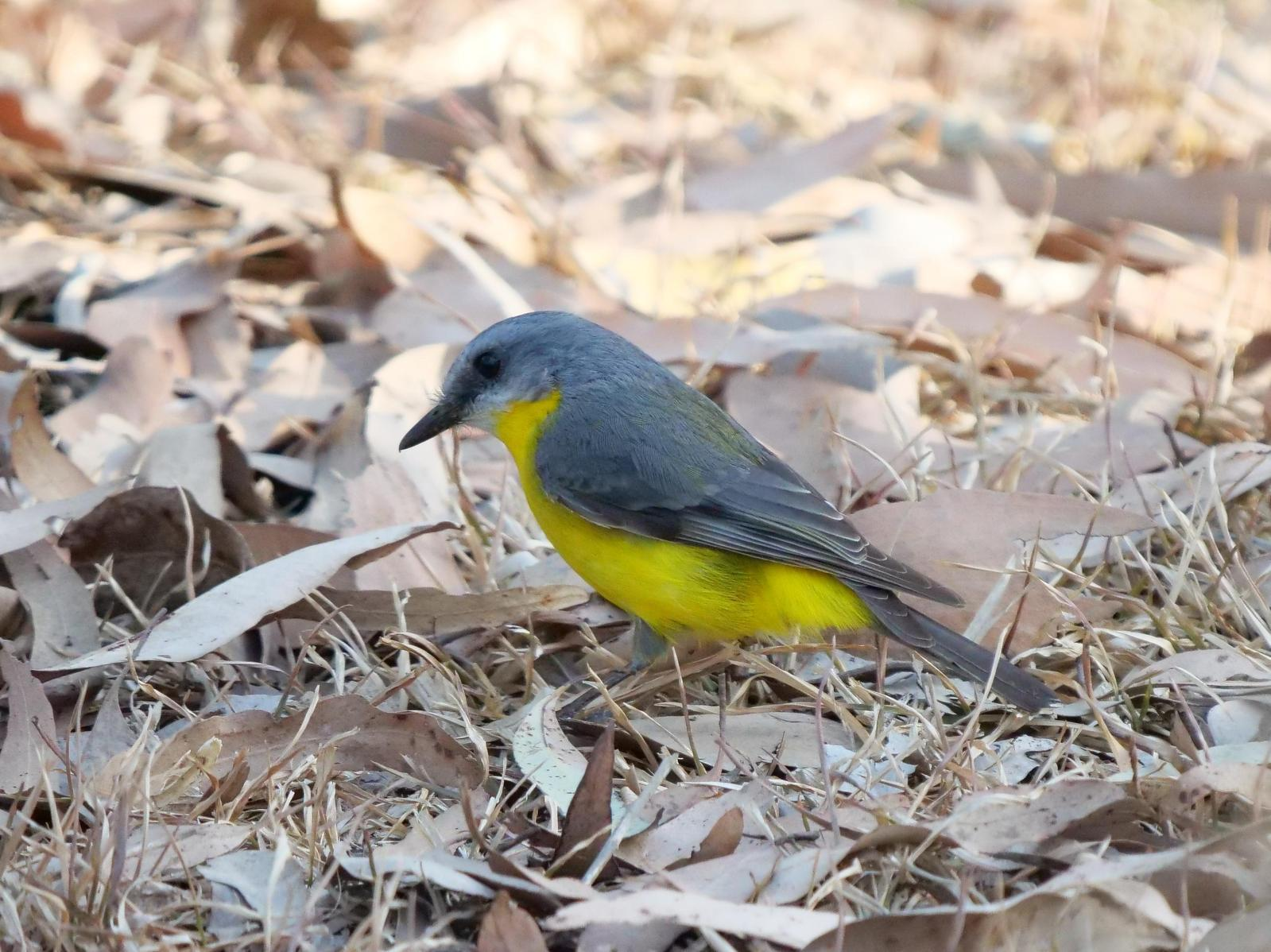 Eastern Yellow Robin Photo by Peter Lowe
