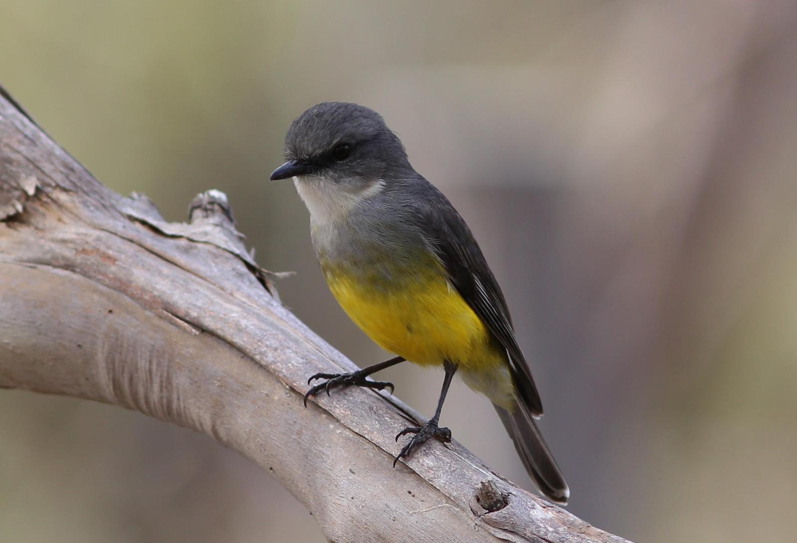 Western Yellow Robin Photo by Rohan van Twest