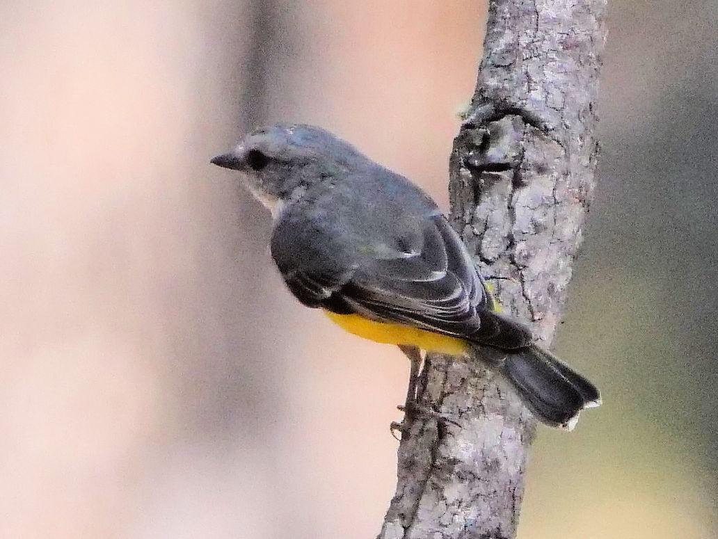 Western Yellow Robin Photo by Peter Lowe