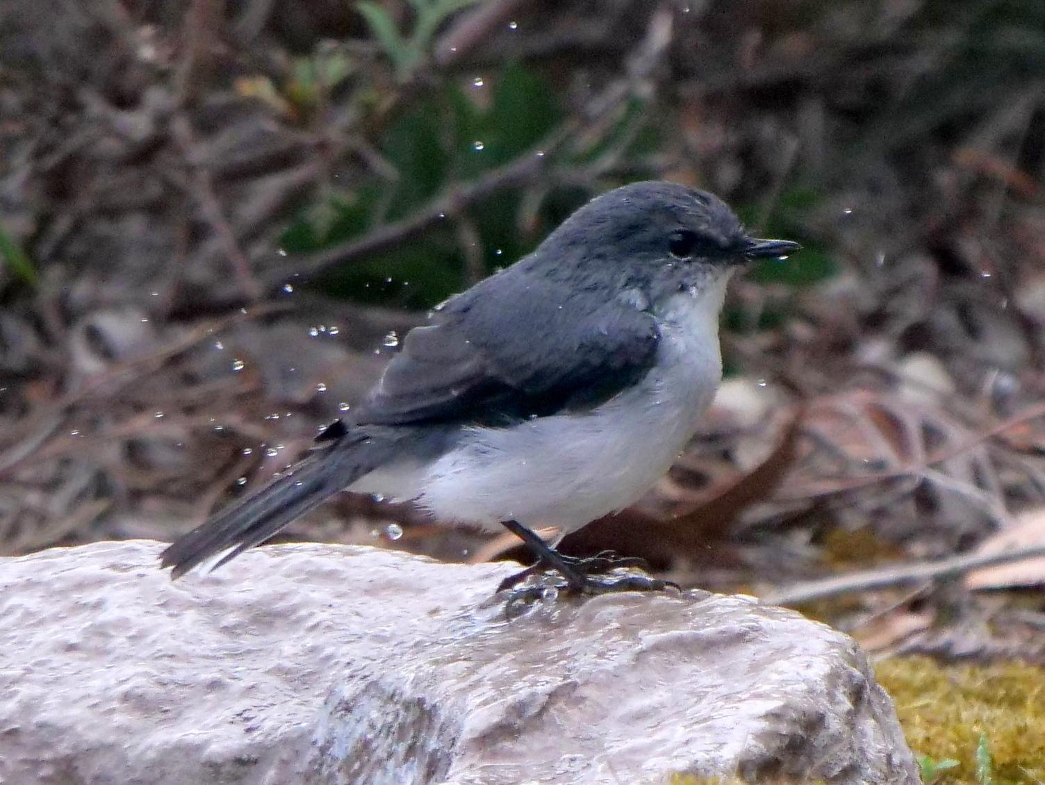 White-breasted Robin Photo by Peter Lowe