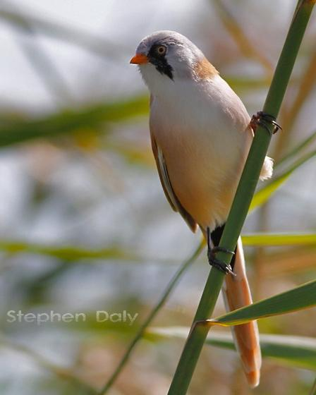 Bearded Reedling Photo by Stephen Daly
