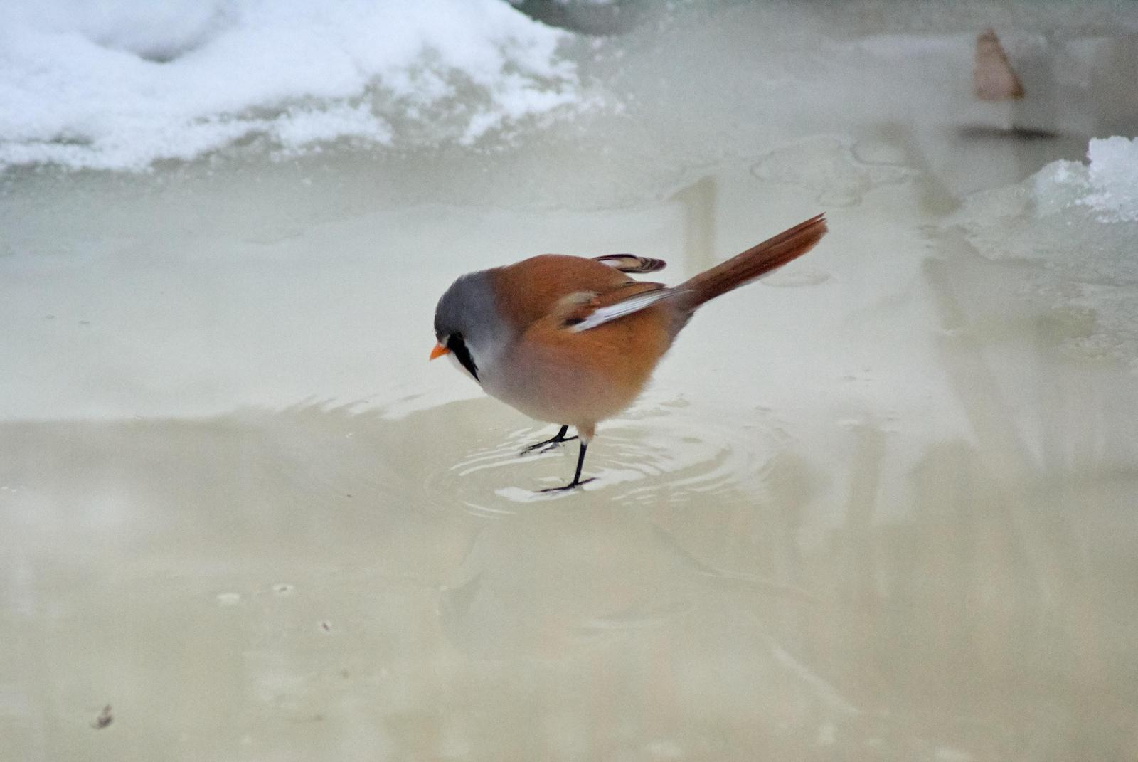 Bearded Reedling Photo by African Googre