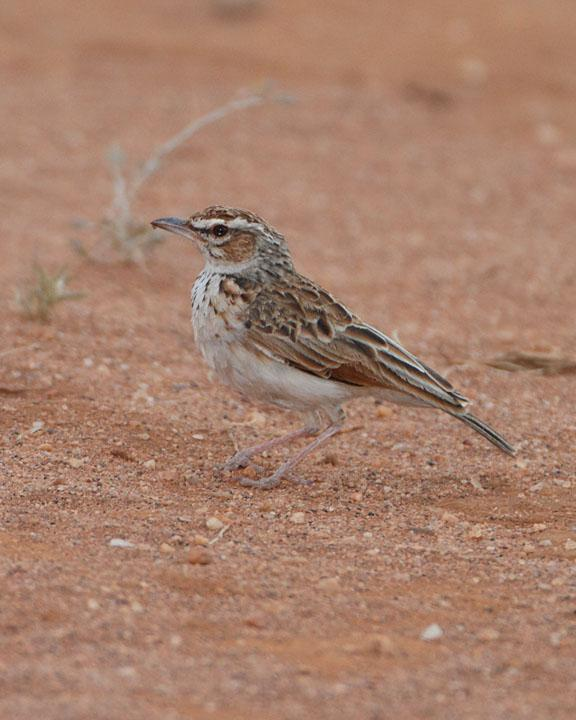 Fawn-colored Lark Photo by Jack Jeffrey