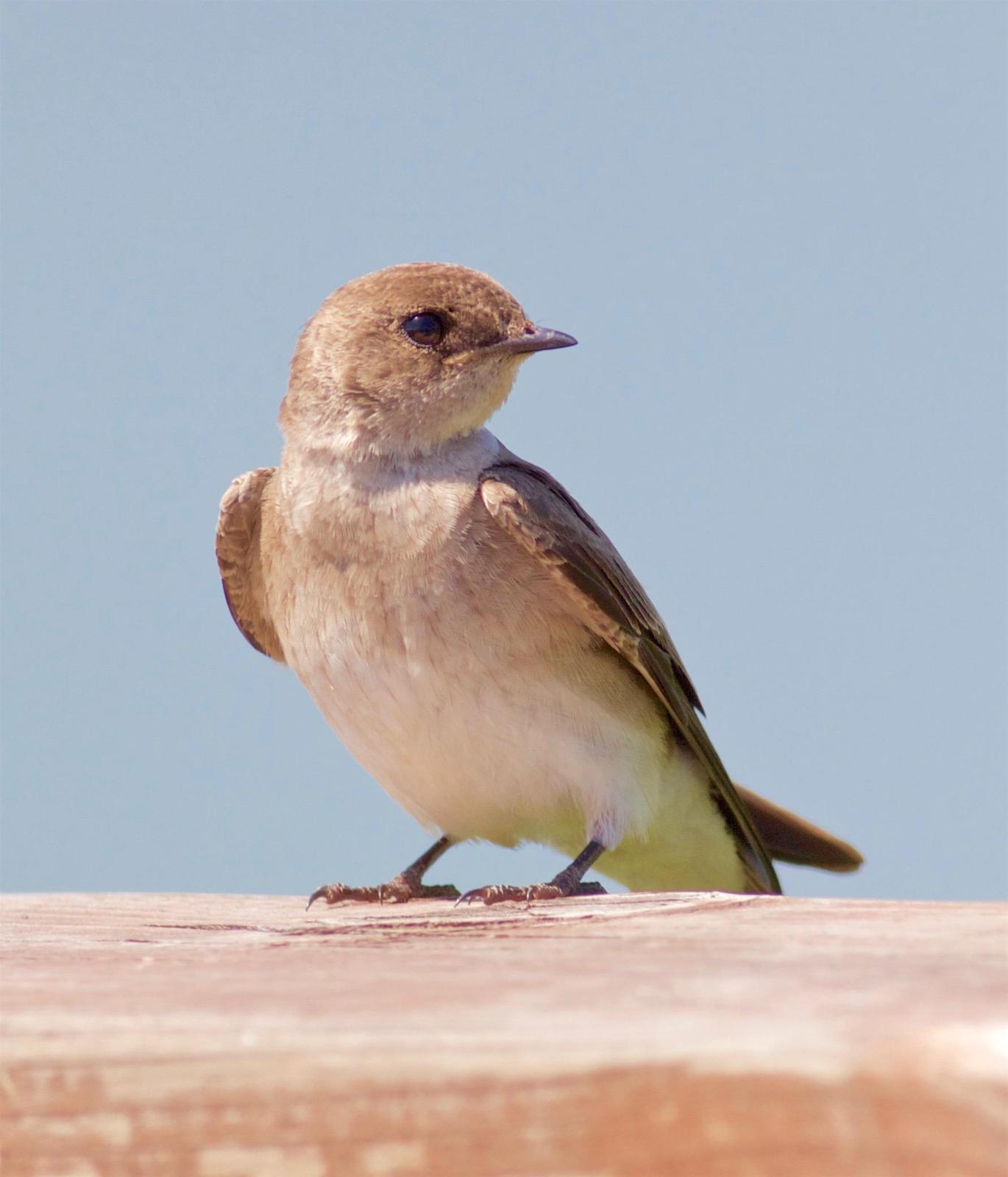 Northern Rough-winged Swallow Photo by Kathryn Keith