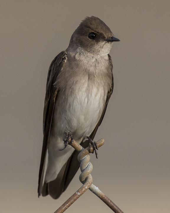 Northern Rough-winged Swallow Photo by Anthony Gliozzo