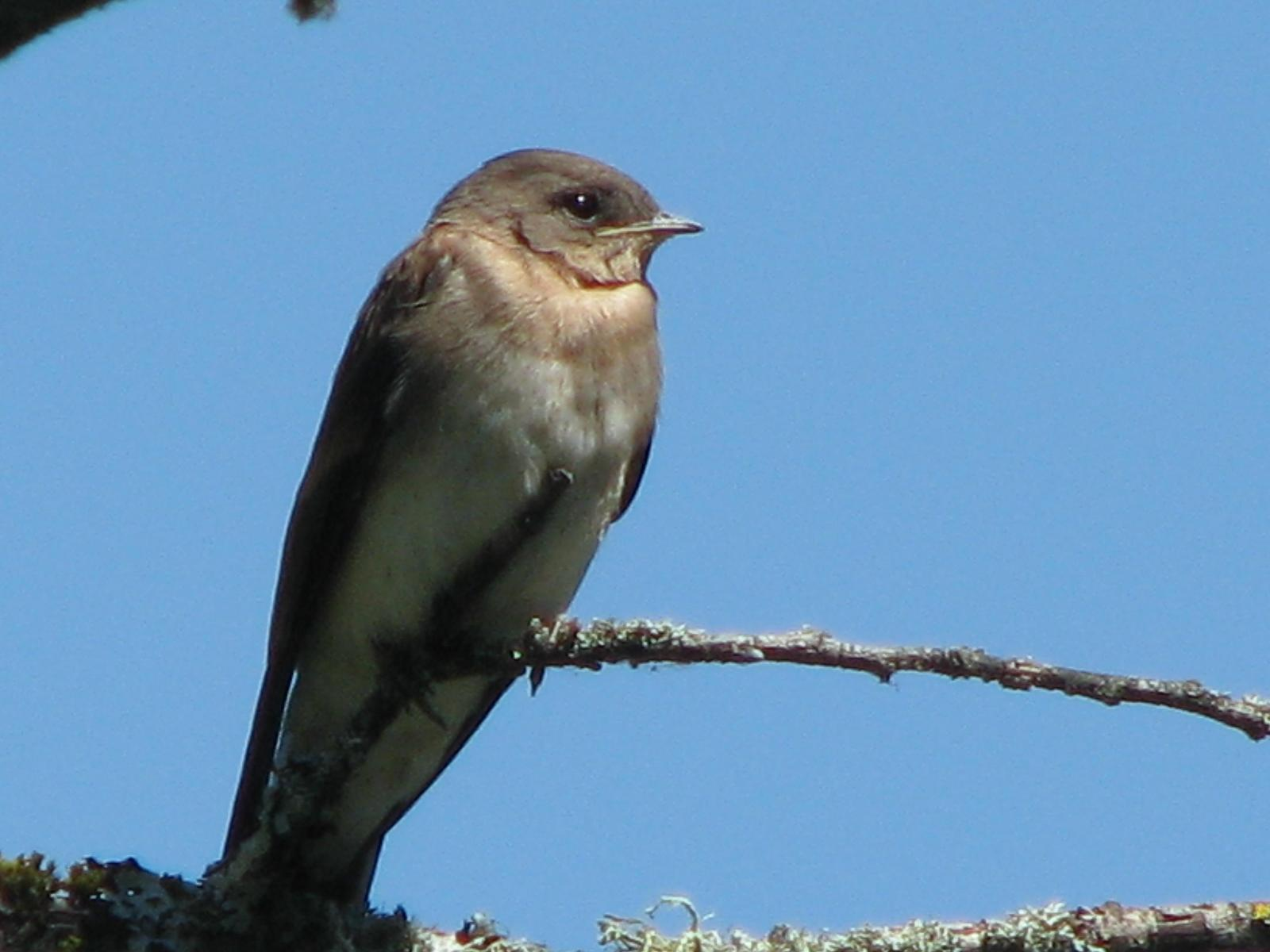 Northern Rough-winged Swallow (Northern) Photo by Ted Goshulak