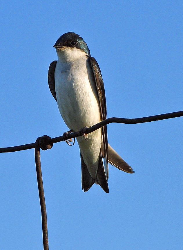 Tree Swallow Photo by Tom Gannon