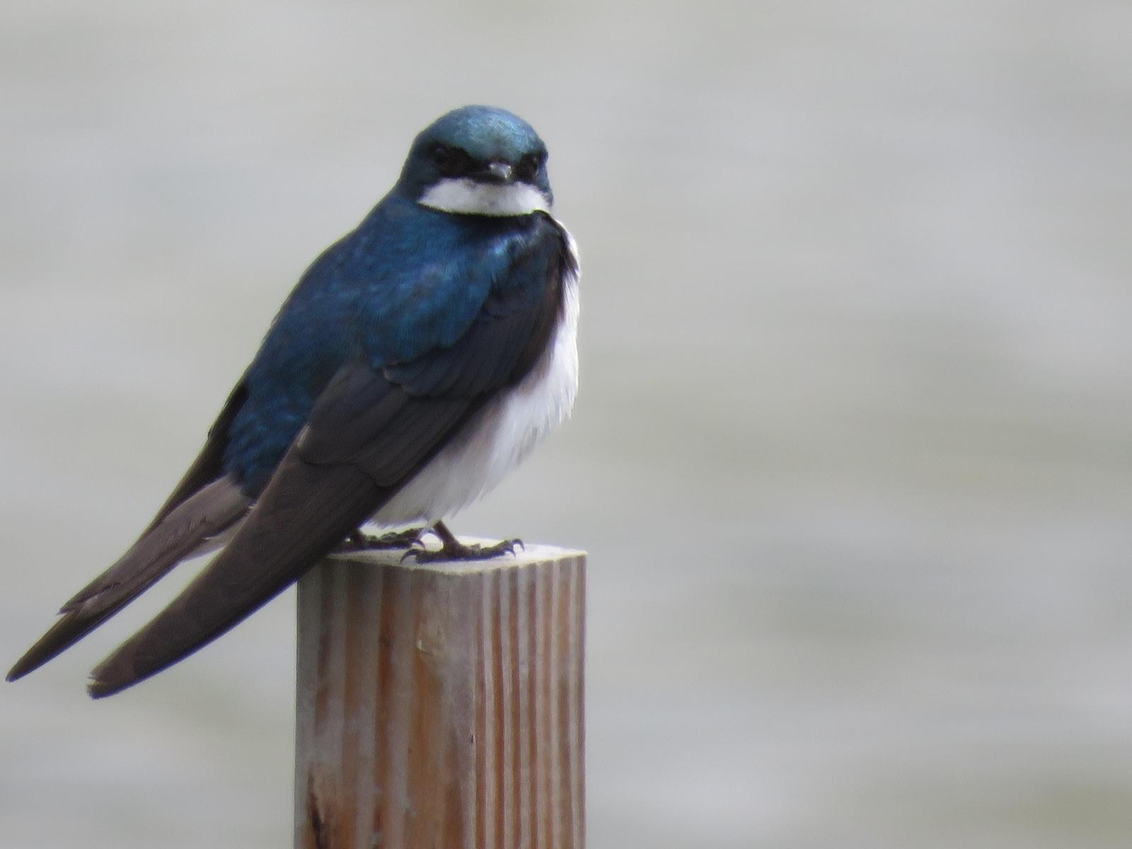 Tree Swallow Photo by Ted Goshulak