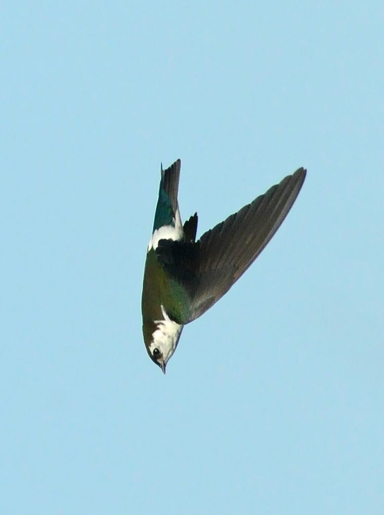 Violet-green Swallow Photo by Steven Mlodinow