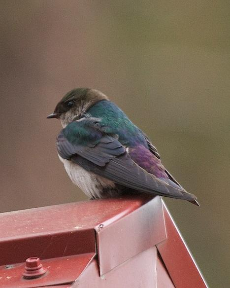 Violet-green Swallow Photo by Gerald Hoekstra