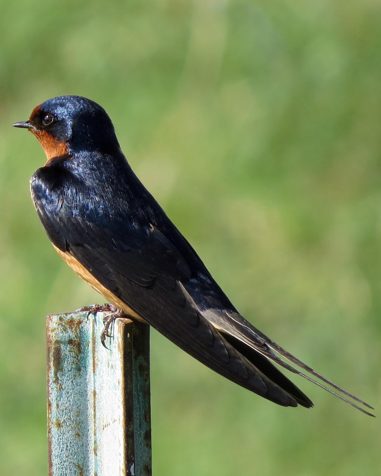 Barn Swallow Photo by Kelly Preheim
