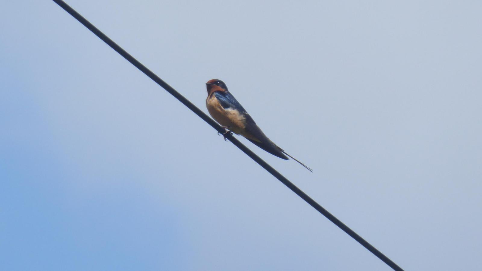 Barn Swallow Photo by Daliel Leite