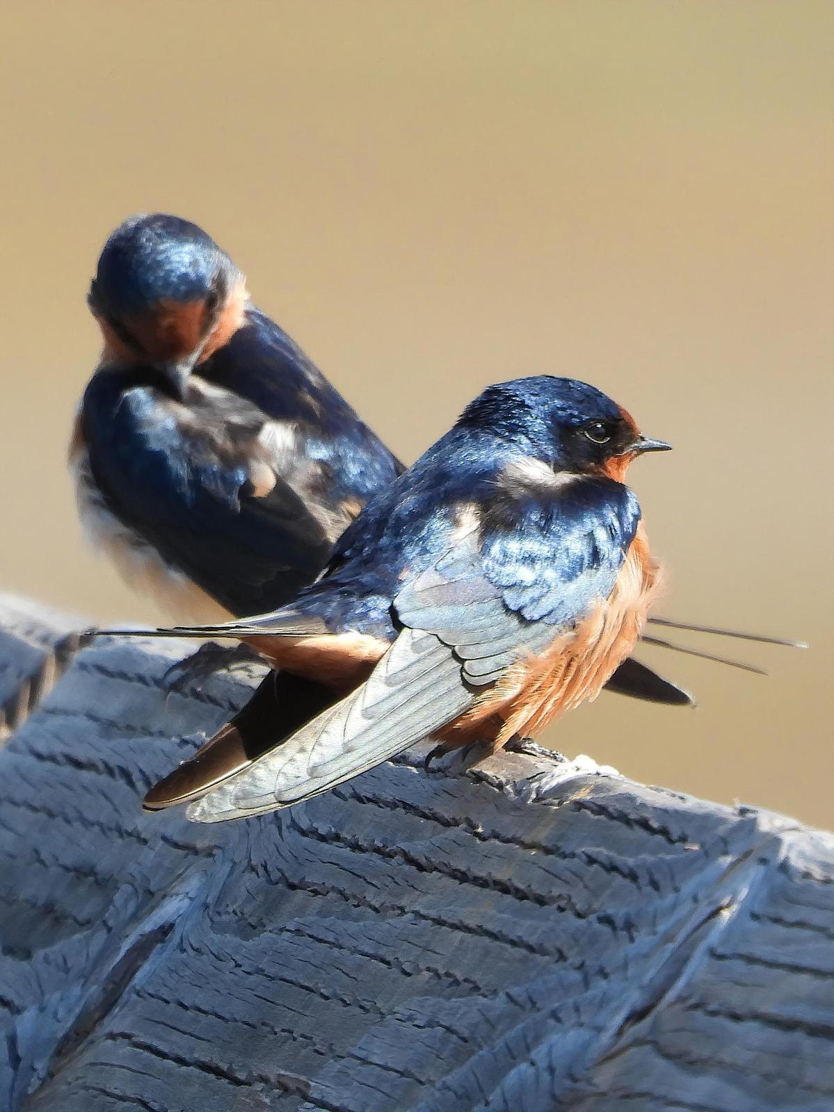 Barn Swallow Photo by Dan Tallman