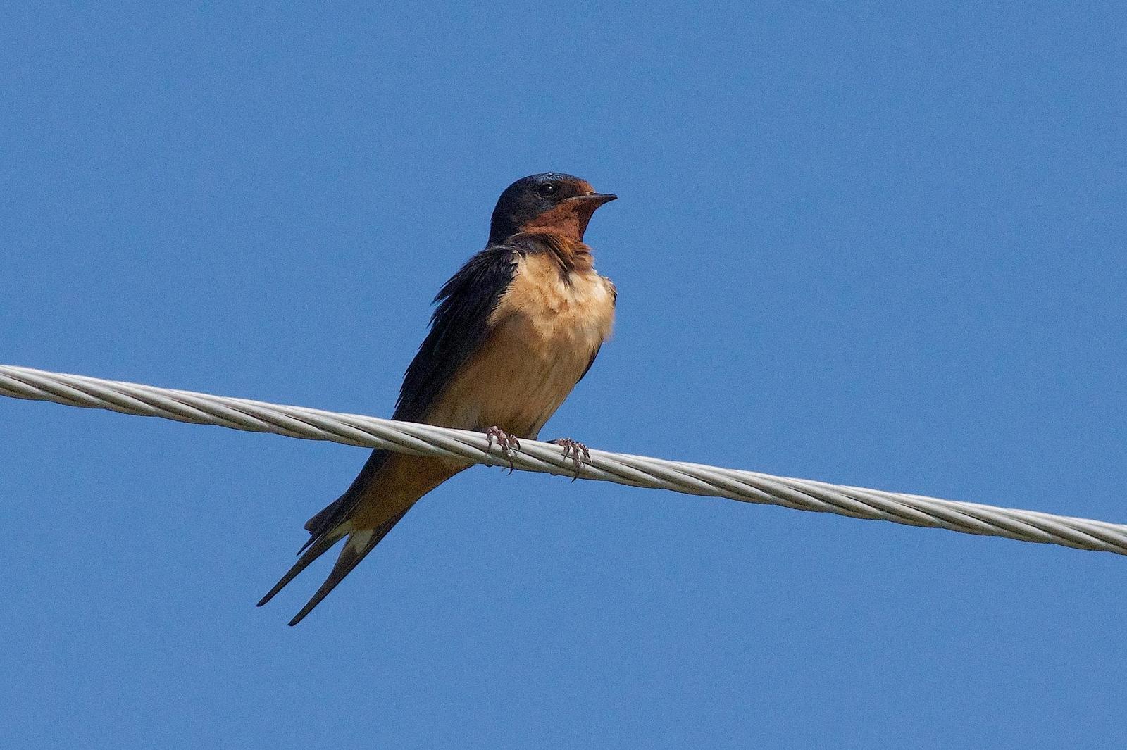 Barn Swallow Photo by Gerald Hoekstra