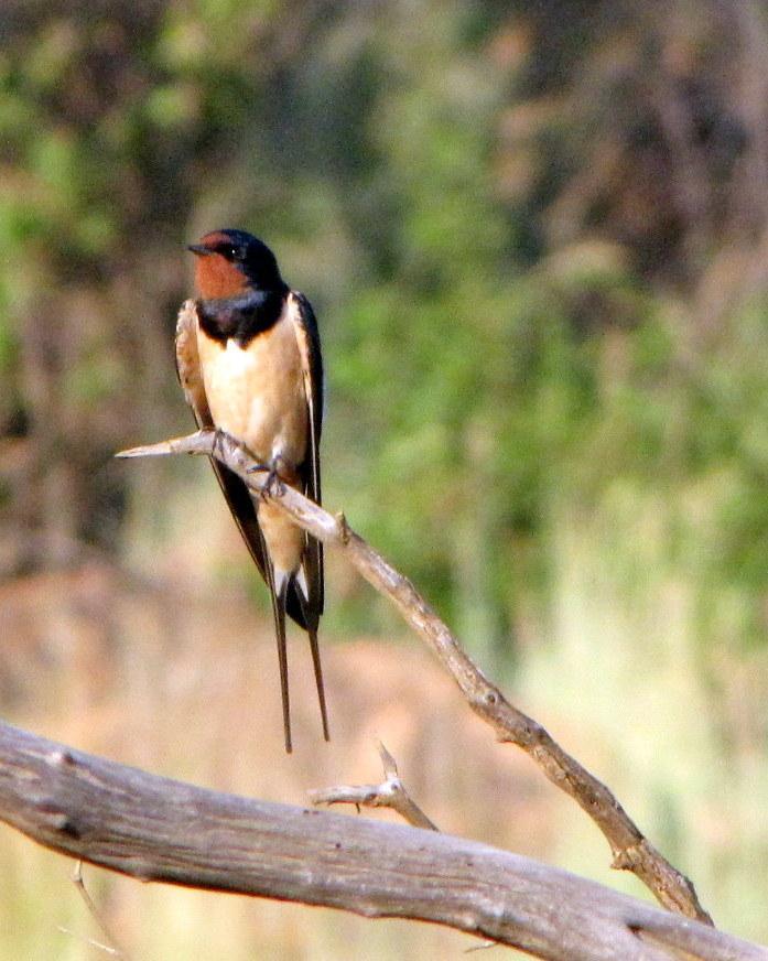 Barn Swallow Photo by Richard  Lowe