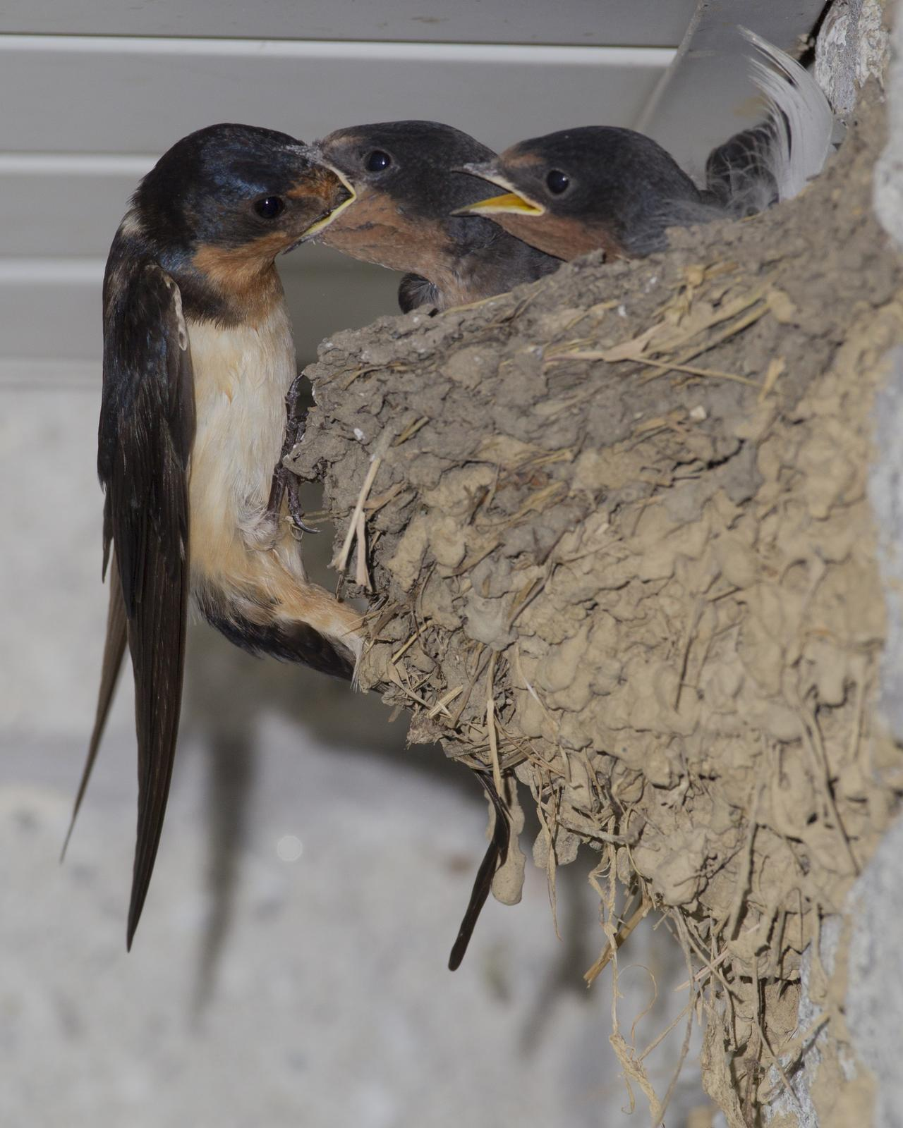 Barn Swallow Photo by Jeff Moore