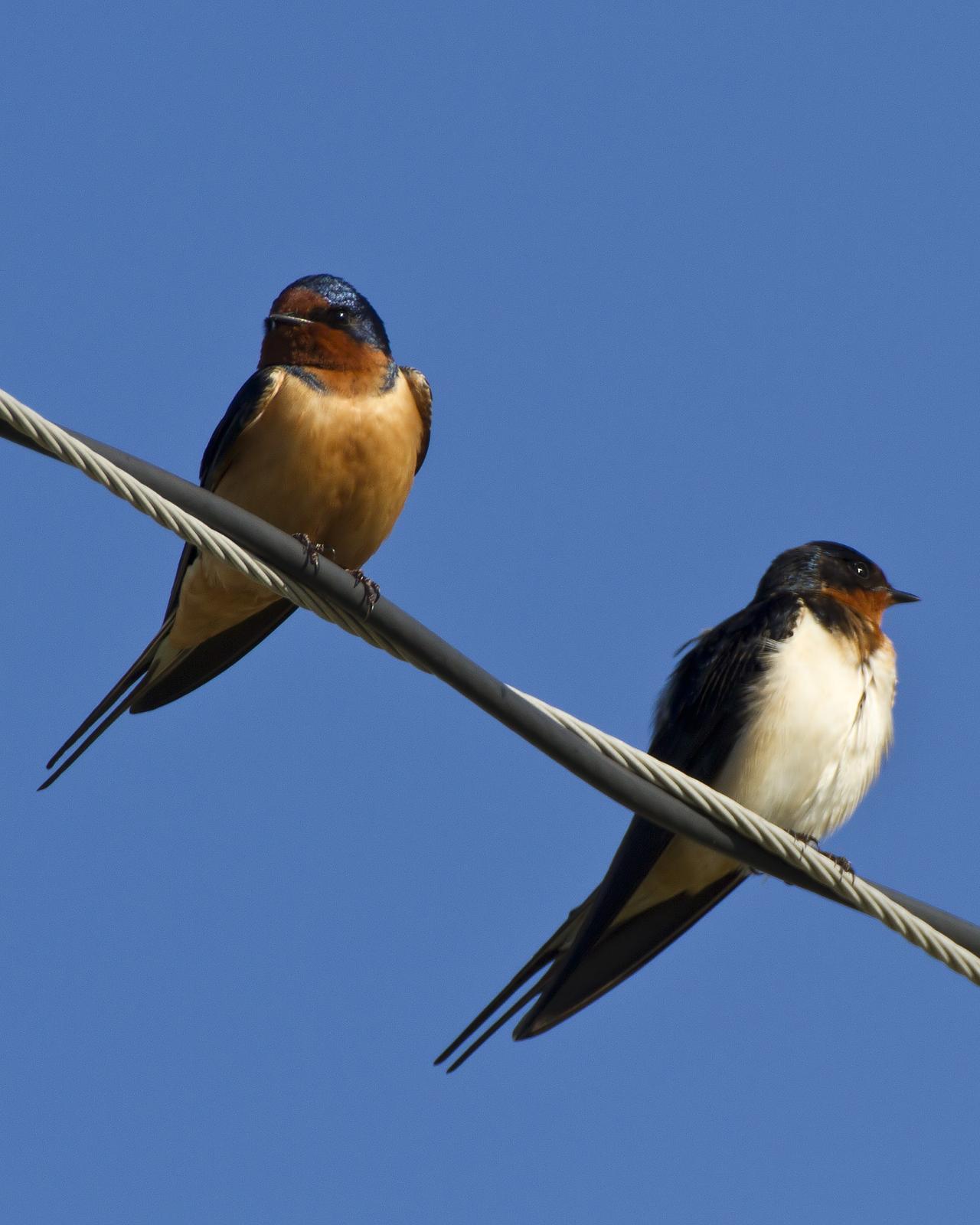 Barn Swallow Photo by Bill Adams