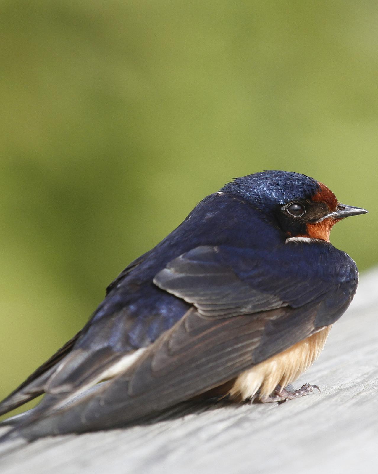 Barn Swallow Photo by Isaac Sanchez