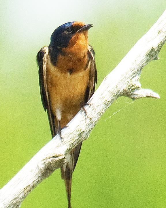 Barn Swallow Photo by Jean-Pierre LaBrèche