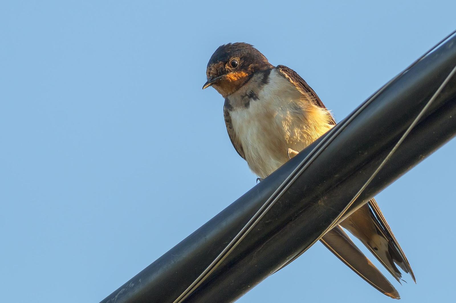 Barn Swallow Photo by Ryan Jones