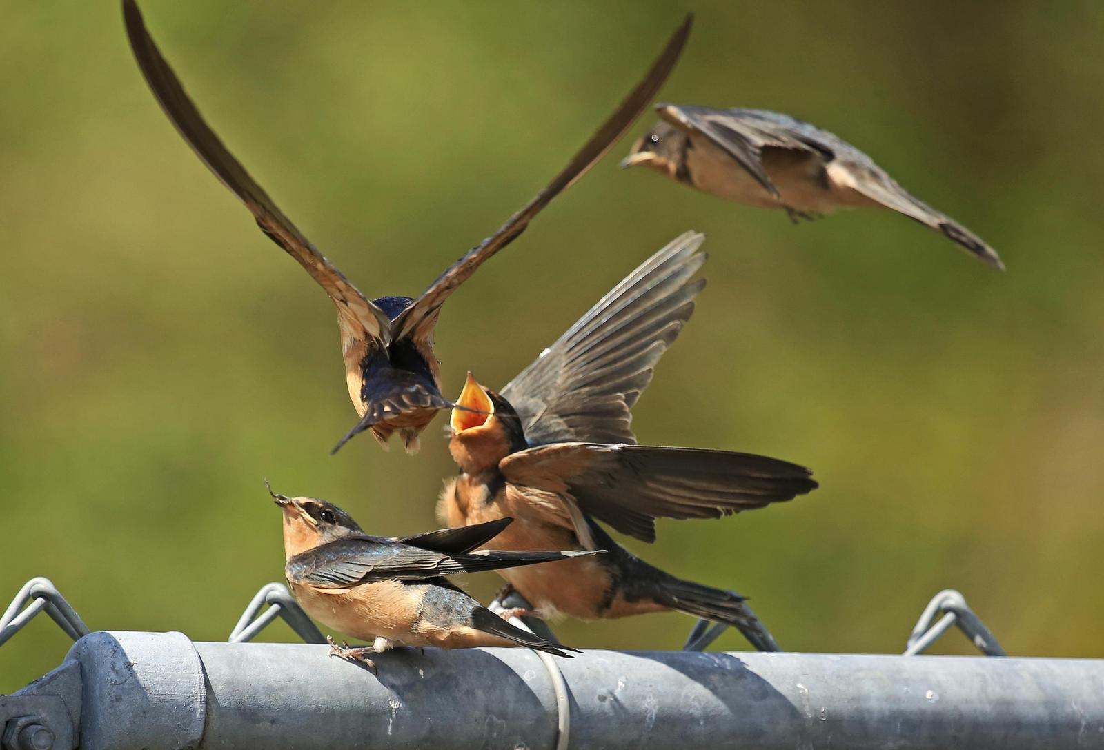 Barn Swallow Photo by Jim  Murray