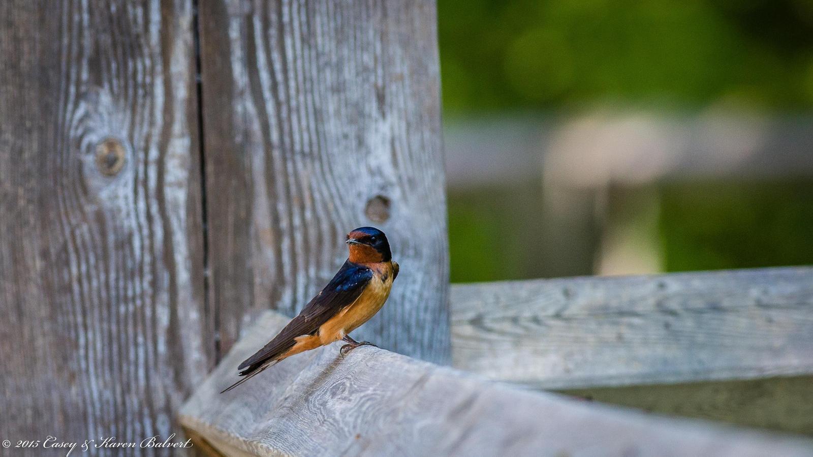 Barn Swallow Photo by Casey Balvert
